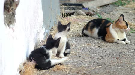 kotě : Family of feral cat. Cute kittens play about mama-cat
