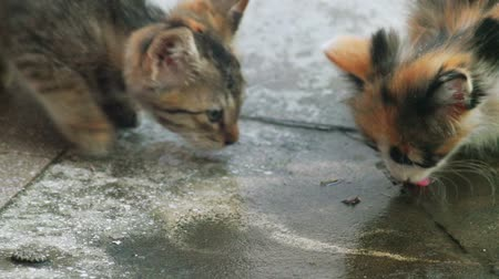 hemşirelik : Two kittens is lapping water on concrete floor. Water drops fall down from above, feral funny kittens lap it. Stok Video