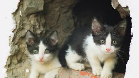 выживание : Feral kittens in wall gap. One is looking out and the other  jumping in and out. Стоковые видеозаписи