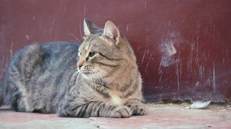 kulaklar : Stray tabby cat resting on the ground Stok Video