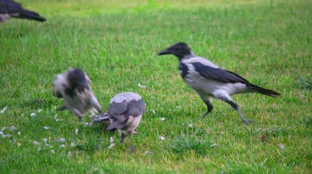 ded : Hooded crow Corvus cornix, also called hoodiecrow tear out ded bird on green grass. Wilderness scene.