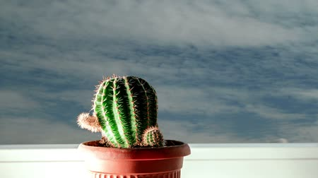 kaktusz : Time Lapse of small cactus on windowsill and clouds