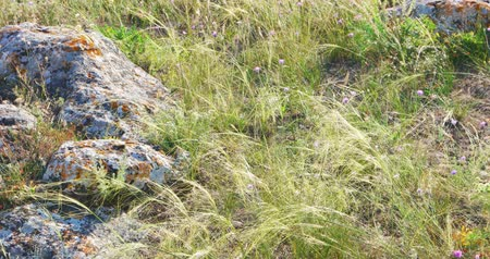 stoned : Steppen grass waves on wind. Stoned covered with lichen