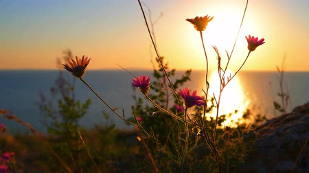 seçkin : Flickering in the wind wild flowers against golded sunset over quiet sea.