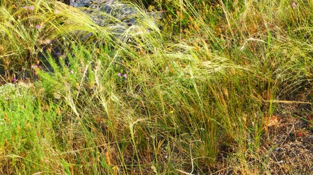 seçkin : Feather-grass step flicker in wind. Small violet flowers is in grass