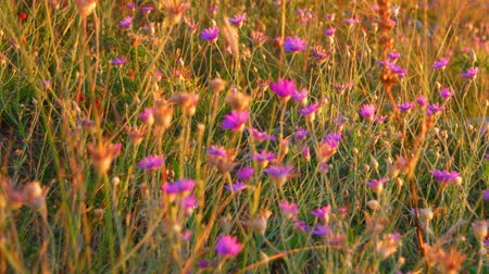 seçkin : Wild steppe plants in summer. A lot of small wildflowers of violet color in warm sunset light Stok Video
