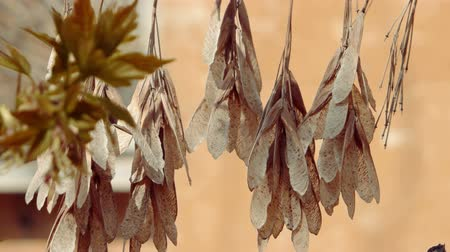 плодоношение : Common ash (Fraxinus excelsior) dry seeds shaking on wind.