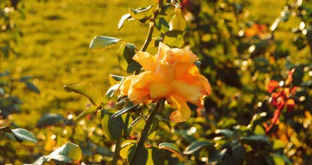 rosebush : Close up natural beautiful roses flower in the garden. Selective focus, set of footages. Vintage color. Stock Footage