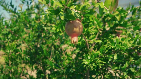calyx : Pomegranate Fruit On Tree Moving With Wind