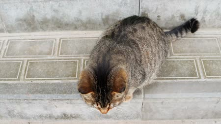 csavargó : Cute Pregnant Cat On Paved Surface Of The Street Looking Up And Lick Itself Stock mozgókép
