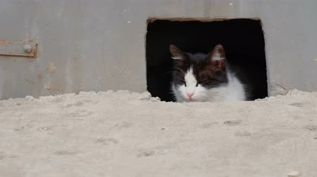 строгий : Stray Cat Looking Out Of Basement Hole In The Street Стоковые видеозаписи