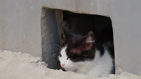 undomesticated cat : Calm Stray Cat Looking Out Of Basement Hole In The Street, Closeup