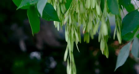 lavish : Common Ash Tree Seeds Hanging From Branch On Wind. Ash-leaved maple helicopter seeds close up. Selected focus.