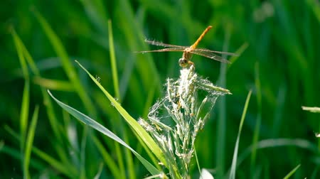 libélula : Dragonfly on blade of grass macro footage