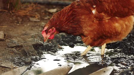 free range : Free range chicken pecking on an organic farm searching food in mud slow motion fooage