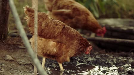 mud bath : Two chicken walking in a mud next to a dirty puddle, organic poultry in slow motion