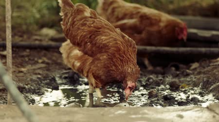 csaj : Slow-motion shot of two free range chickens in a stack yard walking and searching for worms in puddle. Slow motion 120fps footage