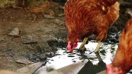 csaj : Chicken searching organic food in mud of puddle in slow motion 120 fps