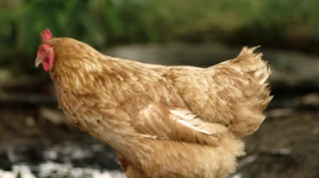 free range : light Brown Chicken Go Out Of Focus In Slow Motion