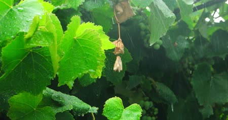 vinná réva : Heavy Rain Pouring On Vineyard, Green Grape Leaves Is Beten By Reindrops