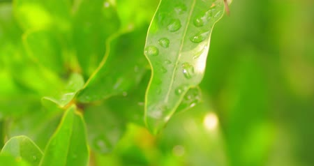 harmatcsepp : Beautiful nature background with morning leaves with waterdrops. Fresh green young branch with leaves in droplets of dew outdoors in summer or spring close-up macro 4k handheld footage. Selective focus shallow DOF Stock mozgókép
