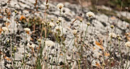haywire : White widflowers fluttering on wind in front of rock covered with lichen 4k handheld shot