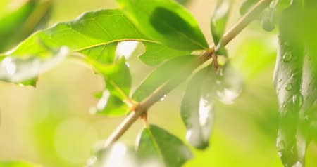 harmatcsepp : Beautiful green leaves on twig with drops of water, 4k handheld footage, shallow depth of field