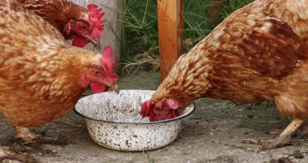 chicken coop : Hens eating from bowl with grain, organic farming