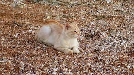 gato selvagem : A ginger-white cat resting on sand-and-shells shore of the Sea of Azov, Russia