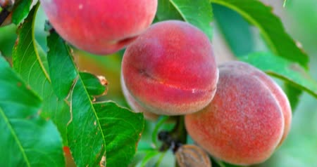 krym : Sweet peach fruits growing on a peach tree branch handheld macro footage 4k Wideo
