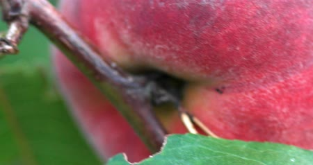 green peach : Macro of the ripe fruit peach handhgeld shot in DCI 4K Stock Footage