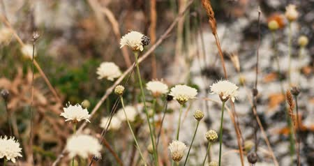 haywire : Wildflowers shaking on wind, amny small flowers of white color fluttering in the breeze