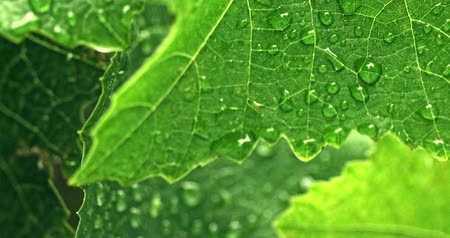 harmatcsepp : Drops of water on fresh green leaf in garden macro 4k footage Stock mozgókép