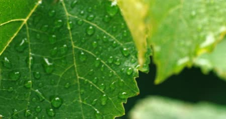 harmatcsepp : Macro of shaking leaves with drops of dew in summer morning