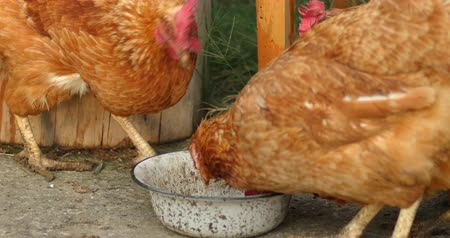 feathered : Many Hens Pecking From Metallic Bowl, Organic Farming Concept