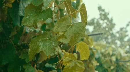 profundidade de campo rasa : Slow motion of green leaves in heavy rain, leaves biten by harsh rain slomo