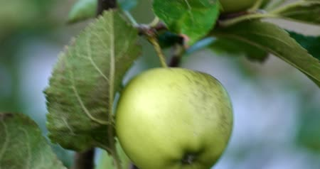 apple orchard : Macro of Apple tree with green unripe apples fruit on its branches handheld 4k shot