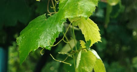селективный : Closeup of big green leaves biten by heavy rain on some summer day Стоковые видеозаписи