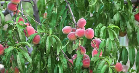 нектарин : Ripe Peaches On Branches in orchard handheld shot in 4k