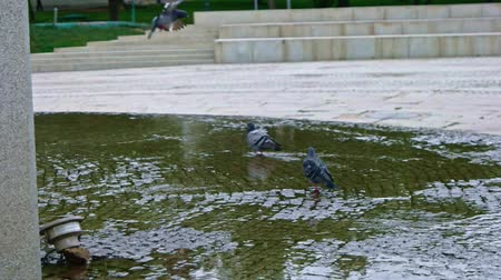 holubice : Pigeon walking in puddle slow motion