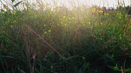 haywire : Wildgrass with small yellow wild flowers shivering on wind backlit