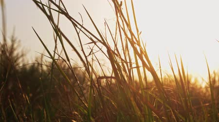 haywire : Steppe grass fluttering in warm sunset light, copyspace Stock Footage