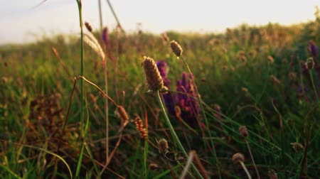 salie : Spikelets and wildwlowers shivering on wind backlit, sunset time Stockvideo