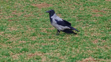 carrion : Gray hooded crow - Corvus cornix - is a species of birds from the genus of crows. A gray crow on the grass.