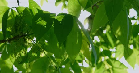 hale : Closeup of green leaves on wind Stok Video