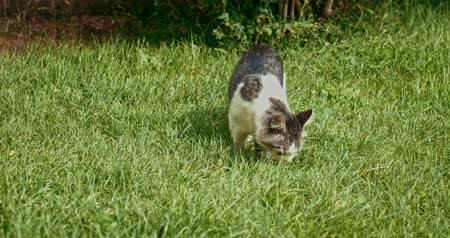 jump away : Mongrel cat sniffing grass in springtime handheld shot