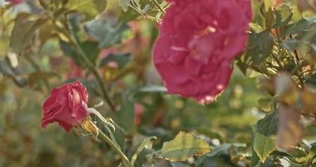 hale : Beautiful red climbing roses wilting in autumn in the garden moving slow on wind Stok Video