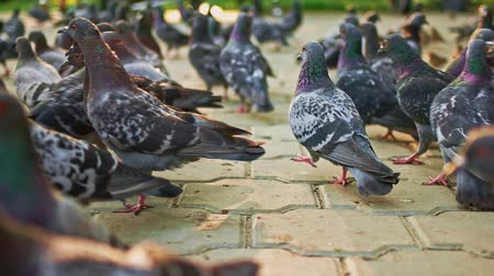 feeder : Pigeons crowd. City dove on the park pavement