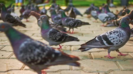 besleyici : A Lot of walking pigeons in city park ground level view.
