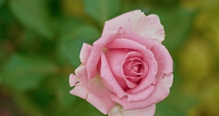 glacé : Pale pink rose in autumn garden shuttering on the wind, planes for montage